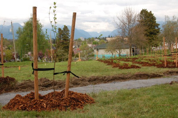 Copley Community Orchard 2012 4